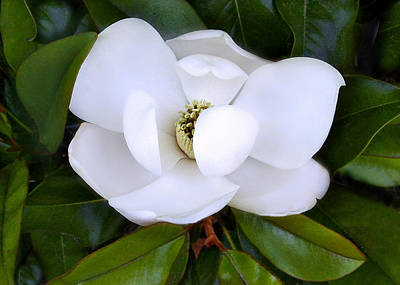 Photograph - Southern Magnolia by William Tanneberger
