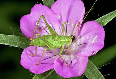 Speckled Bush-cricket On Corncockle Art Print by Bob Gibbons