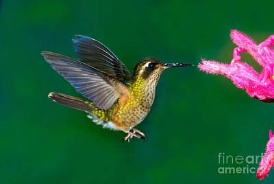 Speckled Hummingbird Art Print by Anthony Mercieca