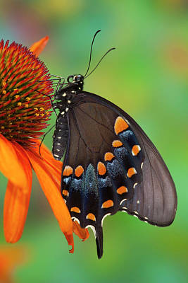 Cone Flower Photograph - Spicebush Swallowtail, Papilio Troilus by Darrell Gulin