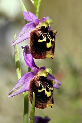 Chios Photograph - Spider Orchid (ophrys Orphanidea) Flower by Bob Gibbons