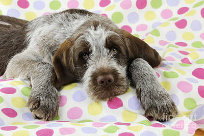 Spinone Photograph - Spinone Puppy Dog by John Daniels