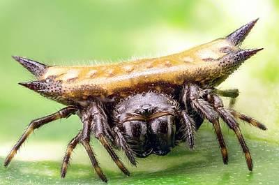 Orb Weaver Spider Photograph - Spiny Orbweaver Spider by Nicolas Reusens