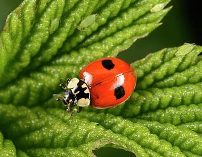2-spot Ladybird Art Print by Nigel Downer