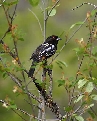 Spotted Towhee Art Print by Ben Upham III