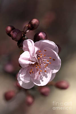 Spring Blossom Art Print by Joy Watson