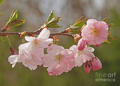 Photograph - Spring Blossoms by Rudi Prott