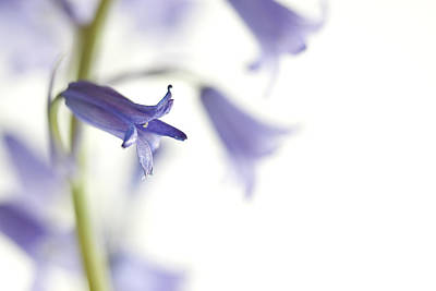 Airy Photograph - Spring Bluebells by Carol Leigh