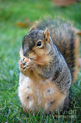 Wall Art - Photograph - Squirrel Eating Nut  by Susan Montgomery