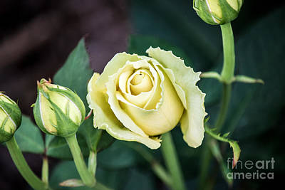 Photograph - St Patrick's Rose by Angela DeFrias