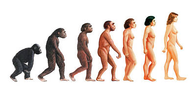 Stages In Human Evolution Art Print by David Gifford