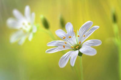 Macro Flower Photograph - Stitchwort by Mandy Disher