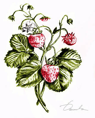 Drawing - Strawberries by Danuta Bennett