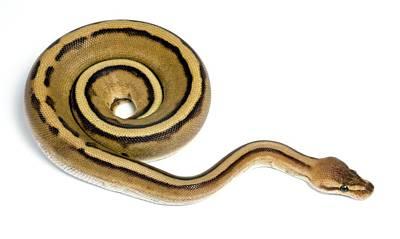 Striped Royal Python Art Print