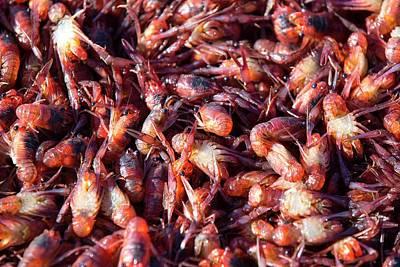 Beagle Photograph - Subantarctic Squat Lobsters by Ashley Cooper