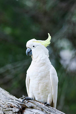 Cockatoo Photograph - Sulfur-crested Cockatoo (cacatua by Martin Zwick