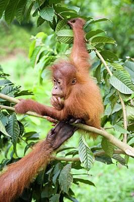 Orangutan Wall Art - Photograph - Sumatran Orangutan by Tony Camacho/science Photo Library