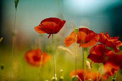 Red Poppies Photograph - Summer Poppy by Nailia Schwarz