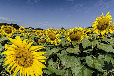 Photograph - Sunflower by Barry Cole