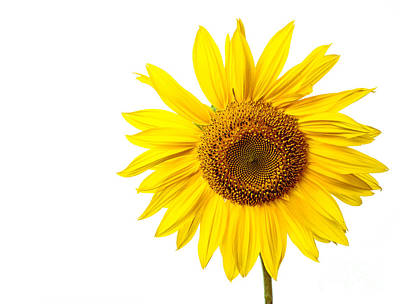 Isolated On White Photograph - Sunflower by Edward Fielding
