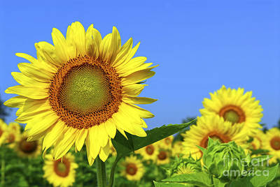 Sunflowers Royalty-Free and Rights-Managed Images - Sunflower field by Elena Elisseeva