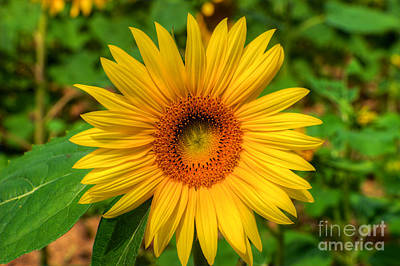 Photograph - Sunflower by Mark Dodd