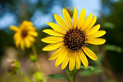 Texas Sunflower Photograph - Sunflower by Mark Weaver