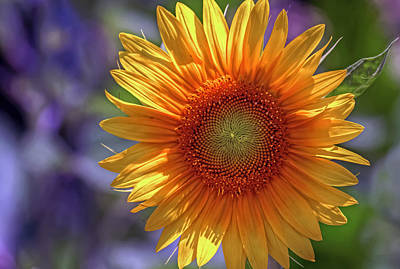 Photograph - Sunflower Norfolk Botanical Garden by Jerry Gammon