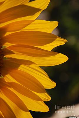 Photograph - Sunflower Petals by Mark Dodd