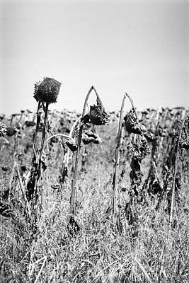 James Taylor Photograph - Sunflowers by James Taylor