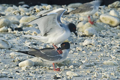 Galapagos Birds Photograph - Swallow-tailed Gulls Mating by William H. Mullins