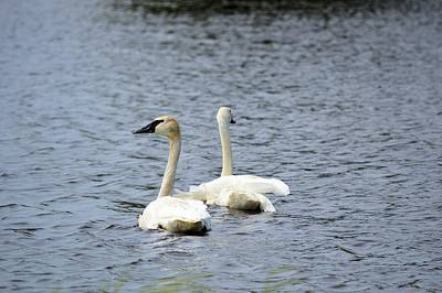 Photograph - 2 Swans by Bonfire Photography