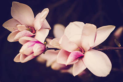 Photograph - Sweet Magnolia by Sara Frank
