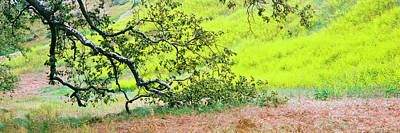 Sycamore Tree In Mustard Field Art Print