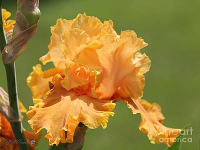 Tall Bearded Iris Named Penny Lane Art Print by J McCombie