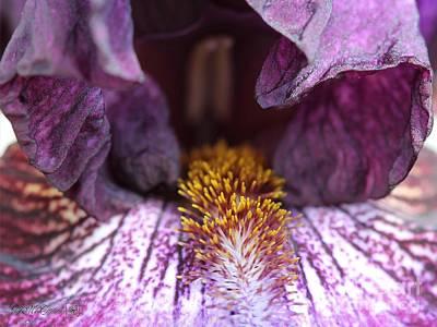 Tall Bearded Iris Named Rosalie Figge Art Print by J McCombie