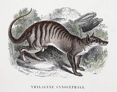 Marsupial Photograph - Tasmanian Wolf by Paul D Stewart