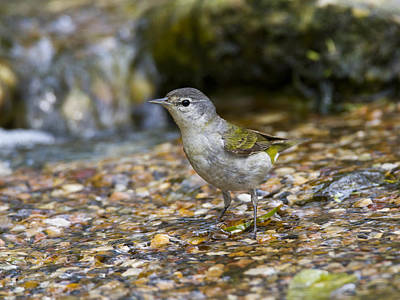 Photograph - Tennessee Warbler by Doug Lloyd