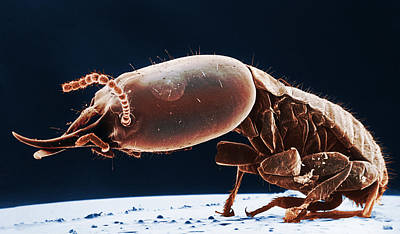 Termite Soldier, Sem Art Print by Science Source
