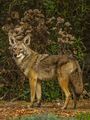 Photograph - The Coyote by Ernie Echols