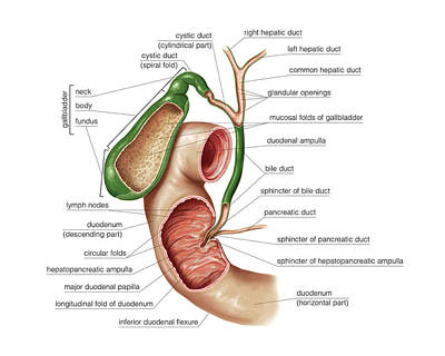 Human Body Photograph - The Gallbladder by Asklepios Medical Atlas