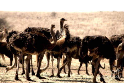 Ostrich Photograph - The Gathering Place by Douglas Barnard