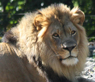 Photograph - The King Of The Jungle by John Telfer