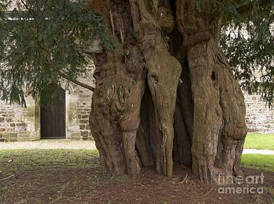 Fused Photograph - The Lytchet Matravers Yew Taxus Baccata by Adrian Bicker