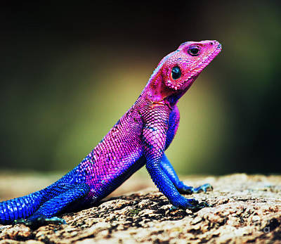 Agama Photograph - The Mwanza Flat-headed Agama. Serengeti. Tanzania by Michal Bednarek