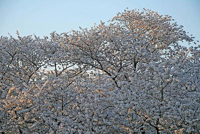 Photograph - The Simple Elegance Of Cherry Blossom Trees by Cora Wandel