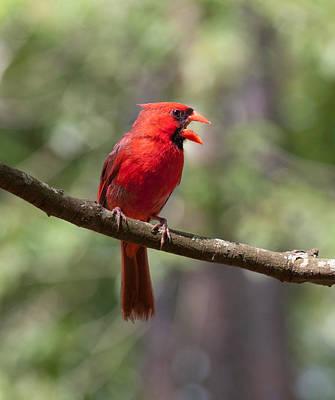 Photograph - The Singing Cardinal by Lara Ellis