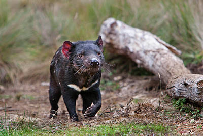 Marsupial Photograph - The Tasmanian Devil (sarcophilus by Martin Zwick
