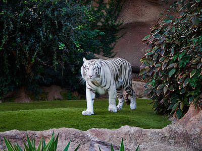 Photograph - The White Tiger by Jouko Lehto