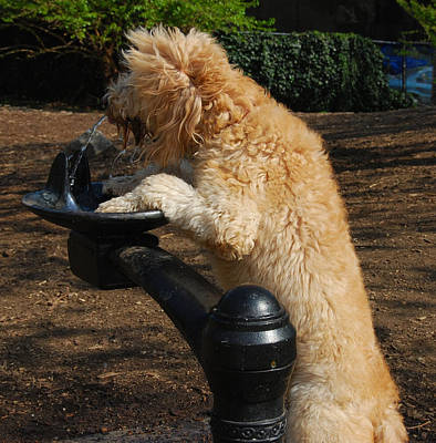 Photograph - Thirsty Dog by Jim Poulos